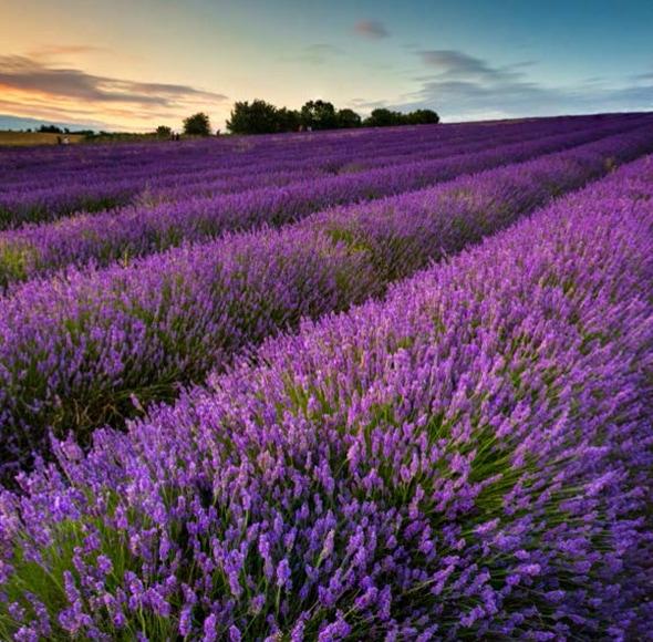 Ellis Mason Recruitment in Hitchin Lavender Fields